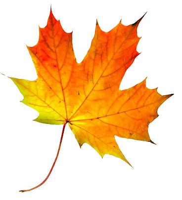 Maple-leaf1.jpg